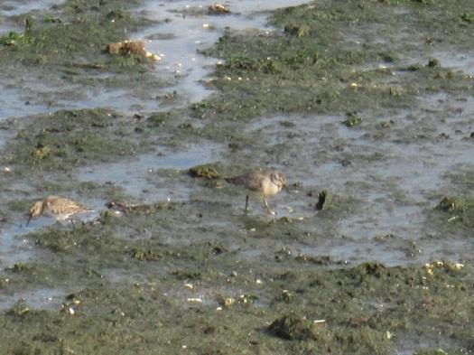 De eerste paarse strandloper (rechts) met een krombek