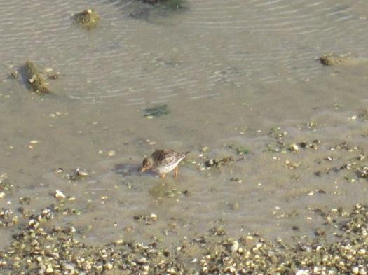 De tweede paarse strandloper op zoek naar voedsel