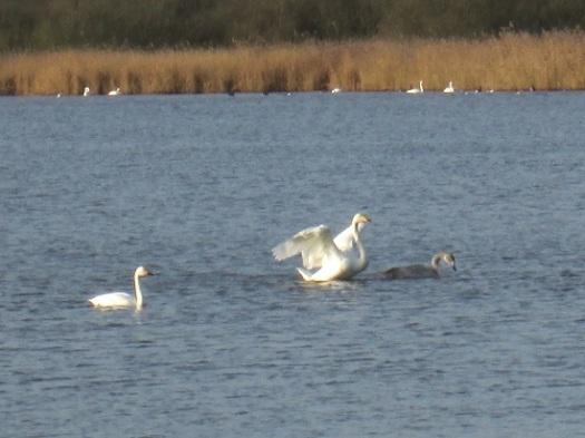 Rechts en midden op de foto wilde zwanen. Links een kleine zwaan.