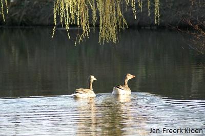 Een ganzenpaar onder de bloeiende wilgen in het zonlicht