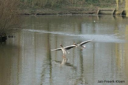 Synchroonvliegende grauwe ganzen