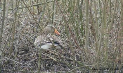 Grauwe gans op het nest