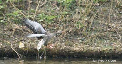 Vliegende grauwe gans
