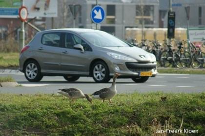 De grauwe ganzen lijken op bijna op de weg te staan. In werkelijkheid zit er nog 5 meter (waarvan een 3 meter breed fietspad/stoep) tussen
