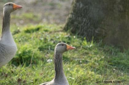 Een paartje grauwe ganzen op de kant