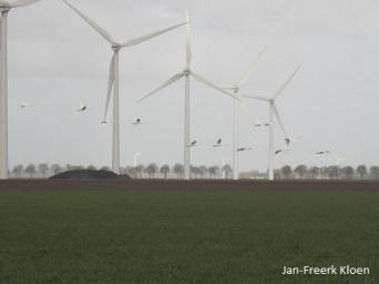 De vliegende wilde zwanen in het Flevo-landschap