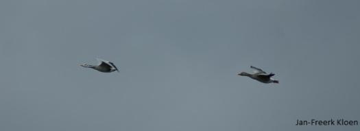 Links een Indische gans en rechts een grauwe gans