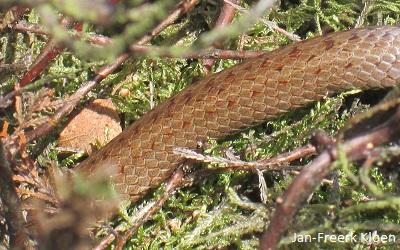Hier kan je goed de schubben zien. Een gladde slang heet namelijk gladde slang, omdat de schubben 'glad' zijn. Bij de ringslang en de adder loopt er een 'nerfje' midden over de schub. De gladde slang heeft dat niet. Vandaar.