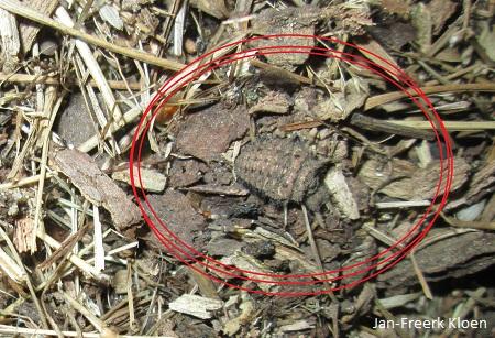 Eén van de mierenleeuwen zo ongeveer ín de kijkhut