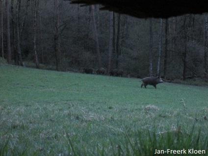 De beer geeft een show weg, terwijl de andere zwijnen staan toe te kijken vanuit de bosrand