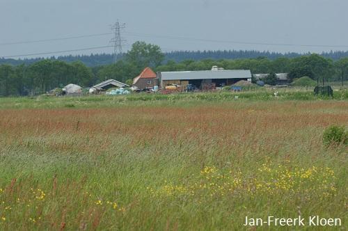Het weiland ziet rood door de veldzuring