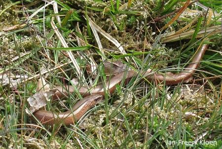 De hazelworm, het vrouwtje
