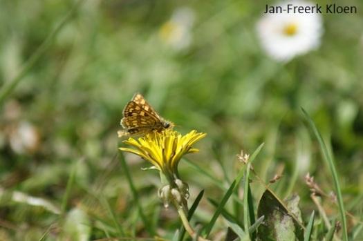 Het bonte dikkopje, de eerste keer dat we deze zeldzame soort op een bloem zagen zitten