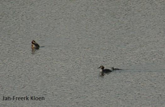 Nu zijn de kuikens zelf gaan zwemmen, al heeft één van de 2 toch weer voor de rug van mama gekozen....