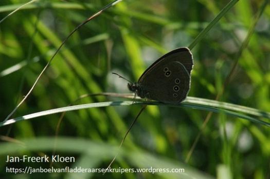 Dit is het koevinkje, een heel donker vlindertje met geen tekening op de witte ringen op de onderkant van de vleugels na.
