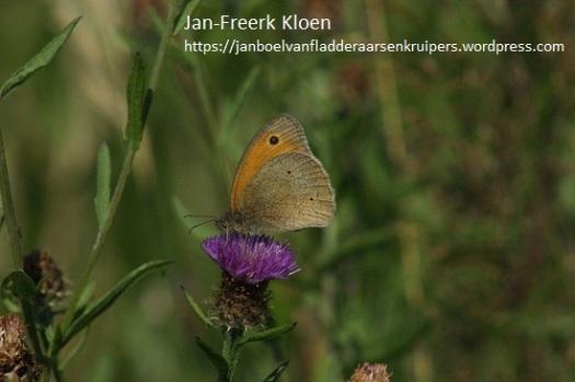 Dit is een bruin zandoogje. Heeft geen tekening op de ondervleugel en is egaal bruin. Het oogje is iets kleiner dan die van de oranje, en de vlinder zelf ook.