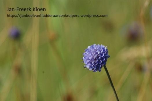 Blauwe knoop.....