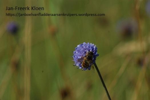 Dezelfde blauwe knoop, maar dan 2 seconden later gefotografeerd, nu met een zweefvlieg er op