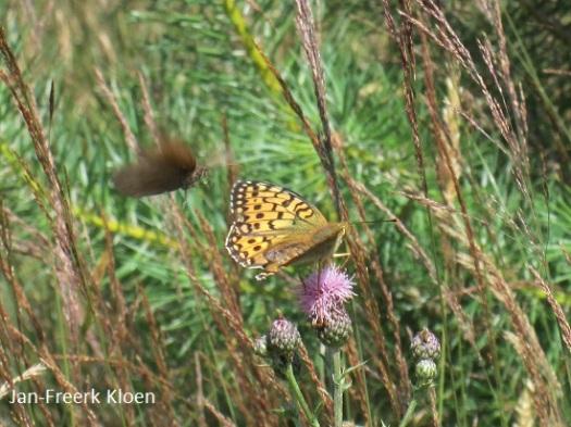 Grote parelmoervlinder met vliegend bruin zandoogje