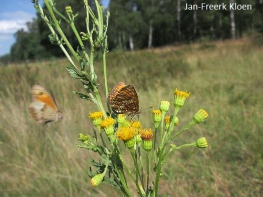 Bosparelmoervlinder met vliegend bruin zandoogje