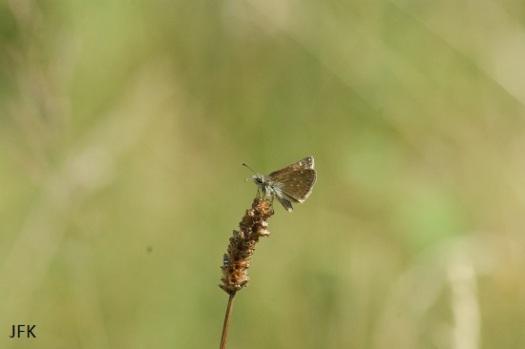 Bruin dikkopje met de vleugels dicht