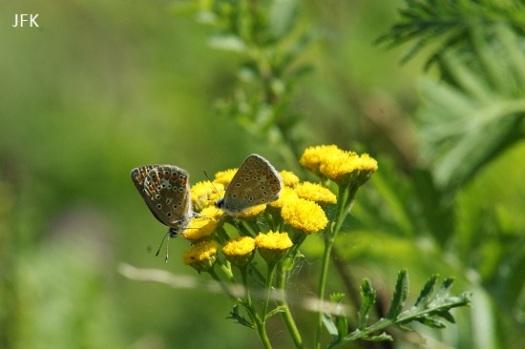 Ik heb geen mooie foto's van het klaverblauwtje, maar wel hier een mannetje en vrouwtje icarusblauwtje
