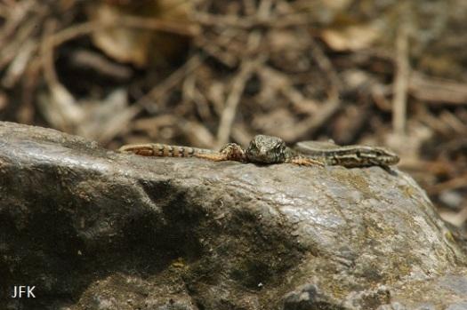 Muurhagedissen: links een mannetje en rechts een vrouwtje