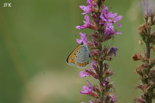 Vrouwtje grote vuurvlinder ssp. Carueli
