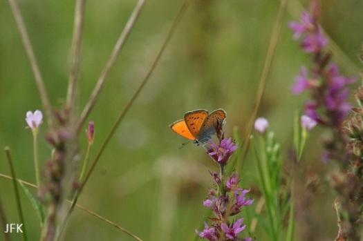 Mannetje gvv ssp. Carueli met de vleugels open