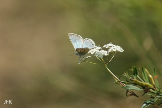 Mannetje bleek blauwtje met de vleugels open