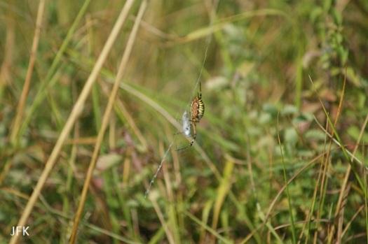 Een wespenspin heeft een bleek blauwtje gevangen, al is van de vlinder niet veel meer te zien