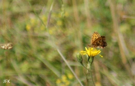 Geen mooie foto, maar wel een paarse parelmoervlinder