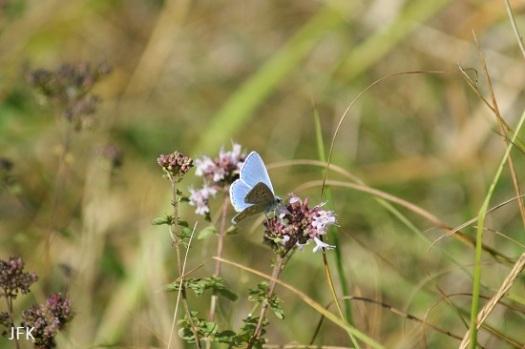 Mannetje adonisblauwtje met de vleugels open