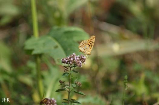 Kleine parelmoervlinder op wilde marjolein