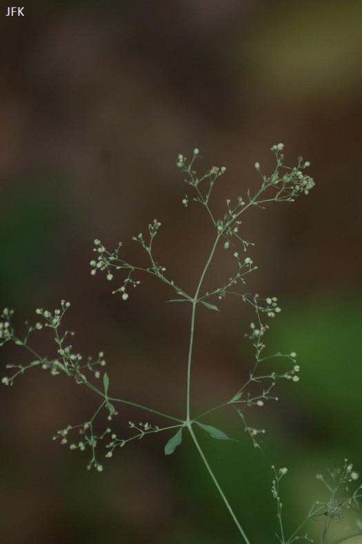 De zeer zeldzame boswalstro (alleen de bloem)