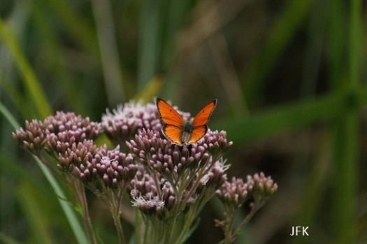 Mannetje grote vuurvlinder ssp. Carueli met de vleugels open