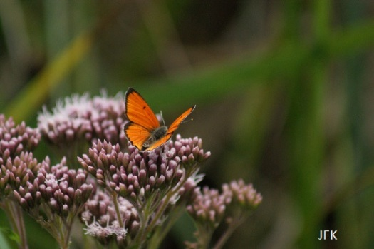 Augustus 2015 - Gvv ssp. Carueli met de vleugels open op koninginnekruid