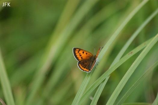 Vrouwtje grote vuurvlinder ssp. Carueli met vleugels open