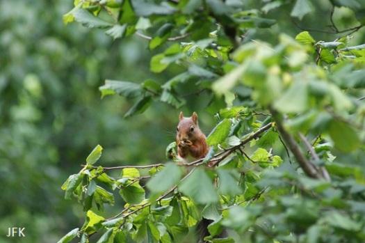 Eekhoorntje doet zich tegoed aan hazelnoten. Eigenlijk hadden we hier een hazelmuis moeten zien ;-)