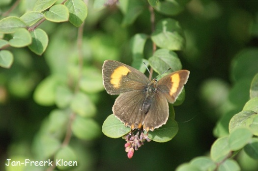 Met de vleugels open. Aan de oranjegele vlekken kan je zien dat het een vrouwtje is, want het mannetje heeft die vlekken niet.
