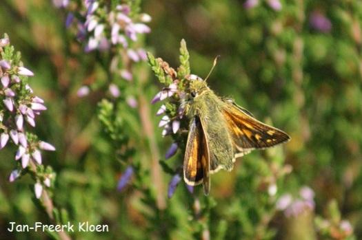 Kommavlinder met de vleugels open. Nu zie je dat hij van de bovenkant best veel op een groot dikkopje lijkt.