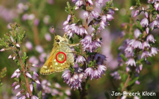 """Kommavlinder met vleugels dicht, en ik heb een rood rondje om de """"komma"""" gemaakt"""