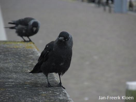 2 kauwtjes in de haven van Harlingen