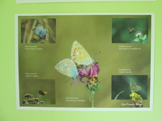 Voorbeeld poster Zuid-Belgische vlinders