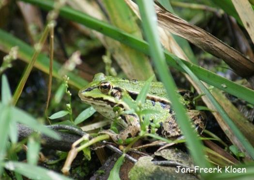 Groene kikker half verstopt tussen de begroeiing in de vijver