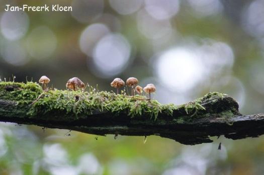 Micena's (ik kan je bij God niet vertellen welke soort) op een mooie tak, vrij hoog in de boom. Speciaal voor deze paddenstoeltjes had ik de gewone lens voor de telelens geruild