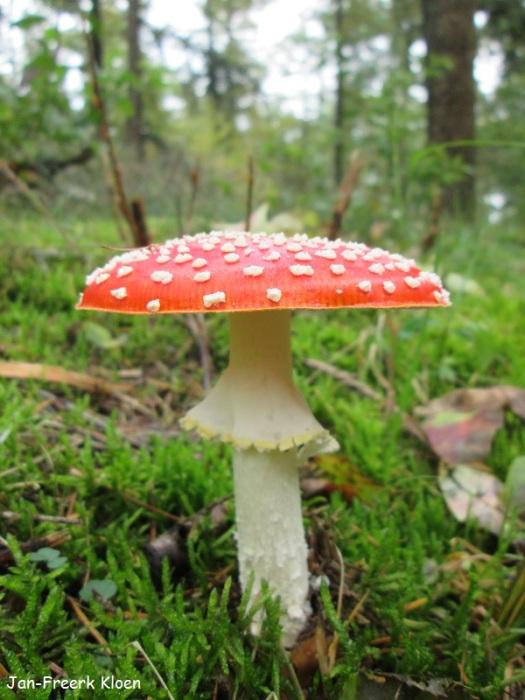 Het is een erg standaard paddenstoelenfoto. Maar heel veel mooier dan dit zie je de vliegenzwam niet vaak.
