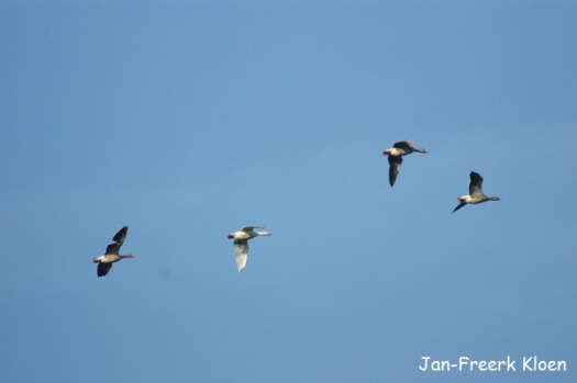 Aan bijna alle foto's van deze dag is te zien dat het prachtig weer was. Ook hier weer. Grauwe ganzen tegen een strakblauwe lucht.