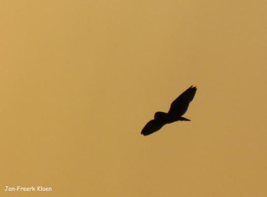 Velduil vliegend voor de oranje lucht rond de zon
