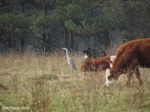 """""""Koereiger"""", oftewel blauwe reiger tussen de koeien"""